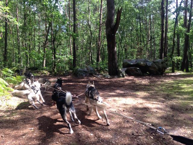 Chien de traîneau en forêt de Fontainebleau / © Steve Stillman