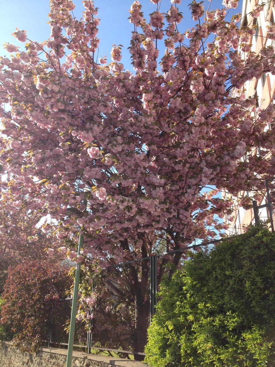 #cerisiersgo à Pantin / © @BeninoParisien