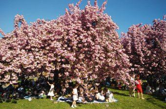 Cerisiers Go !, la chasse aux cerisiers en fleurs dans le Grand Paris