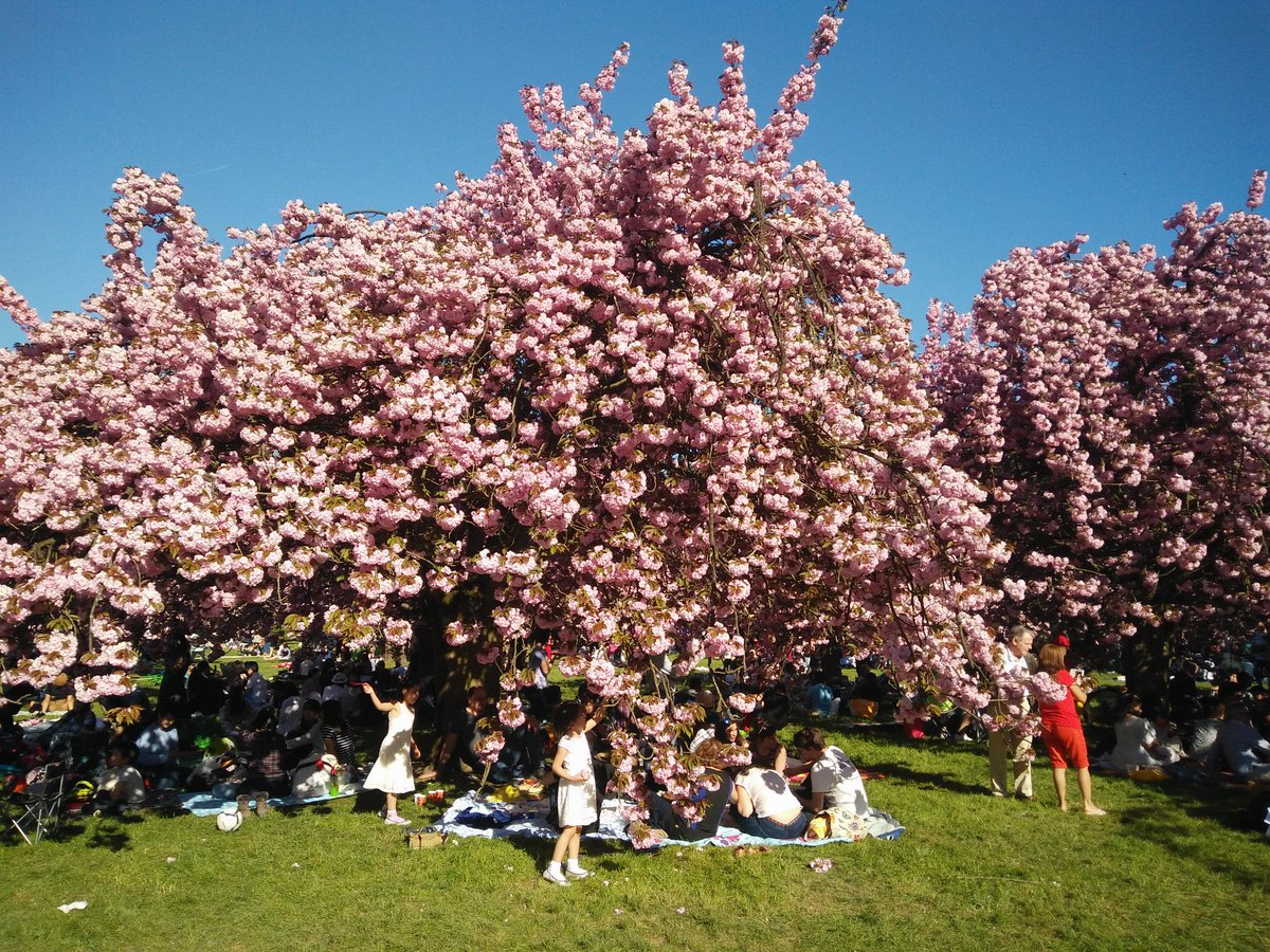 #cerisiersgo à Sceaux / @BenjaminGranjon