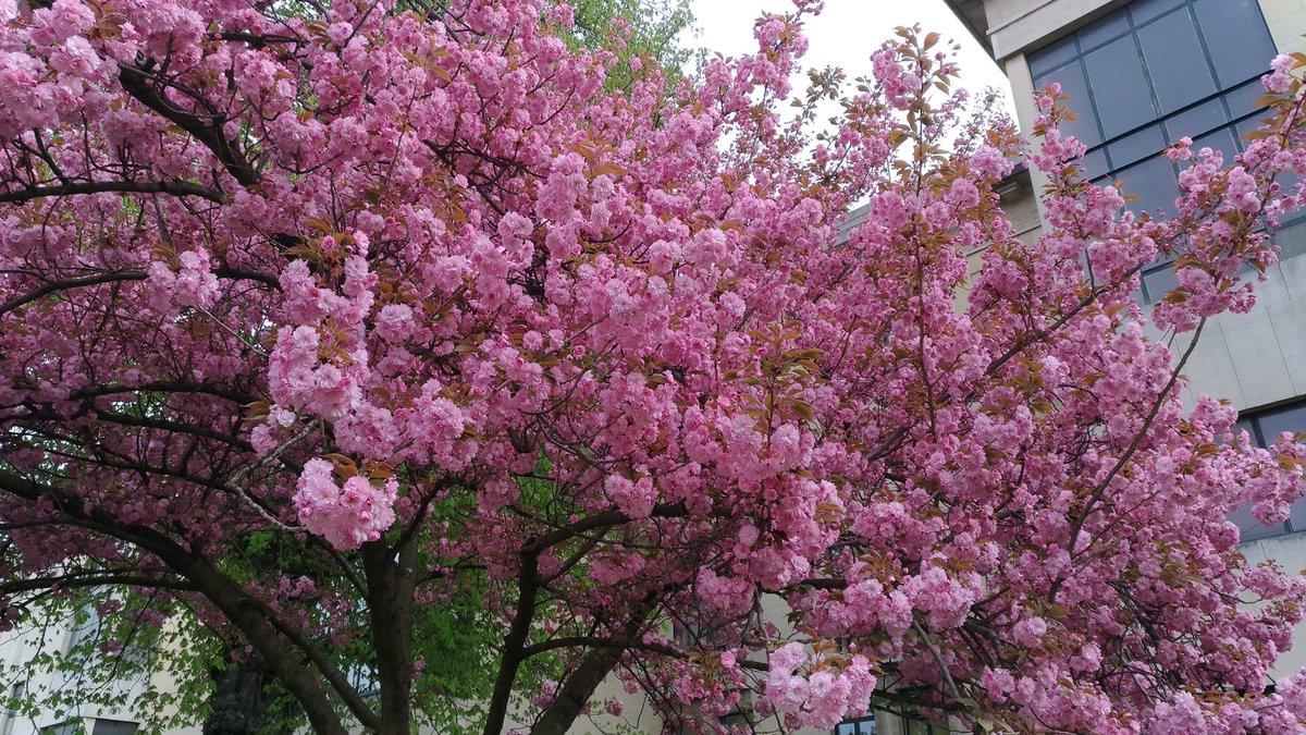 #cerisiersgo / © @LSCW_