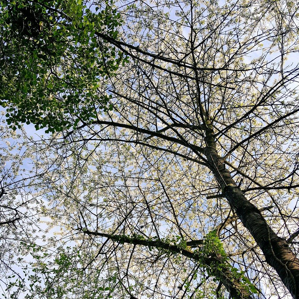 #cerisiersgo à Athis-Mons / © @VBalmette