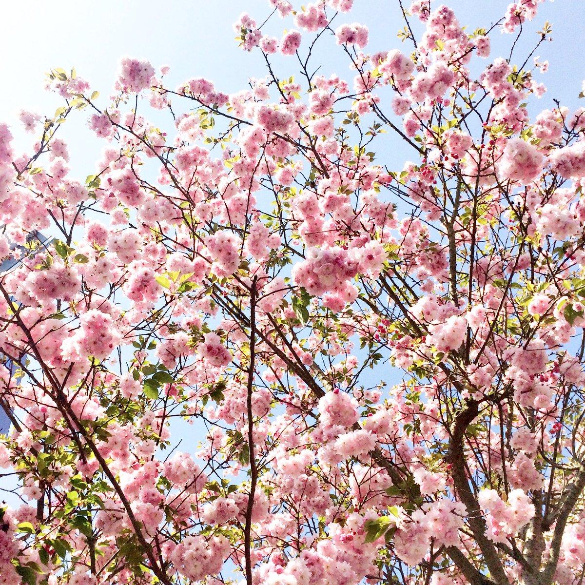 #cerisiersgo dans les Yvelines / © @somanyparis
