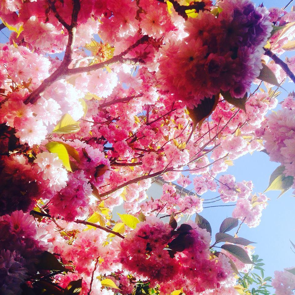 #cerisiersgo à Ville-d'Avray / © Aline Robert Michelangeli