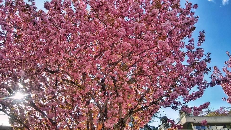 #cerisiersgo à Saint-Cloud / © Ariel Güelfi
