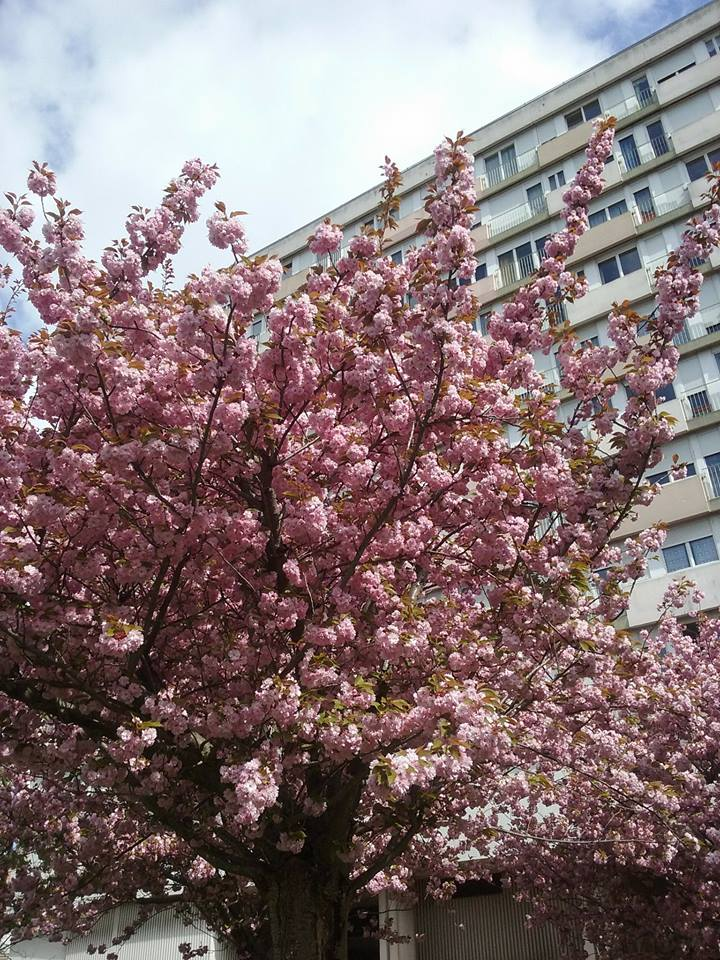 #cerisiersgo Montreuil / © Benjamin Corbi