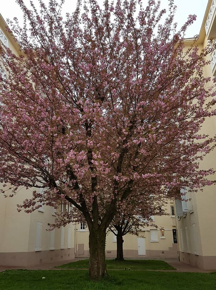 #cerisiersgo à Colombes / © Daurade royale