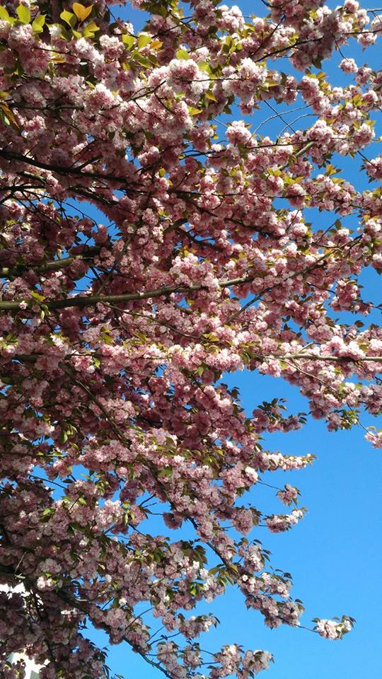 #cerisiersgo à Pantin / © Delphine Ruelle