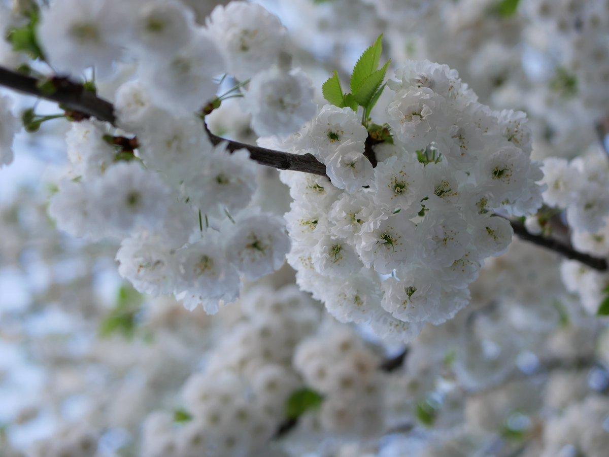 #cerisiersgo au Parc Martin Luther-King / © @Charles_Viet