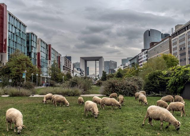 Les moutons de la ferme du Bonheur à Nanterre / © Jean-Fabien Leclanche pour Enlarge Your Paris