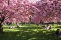 A l'ombre des cerisiers en fleurs en Île-de-France