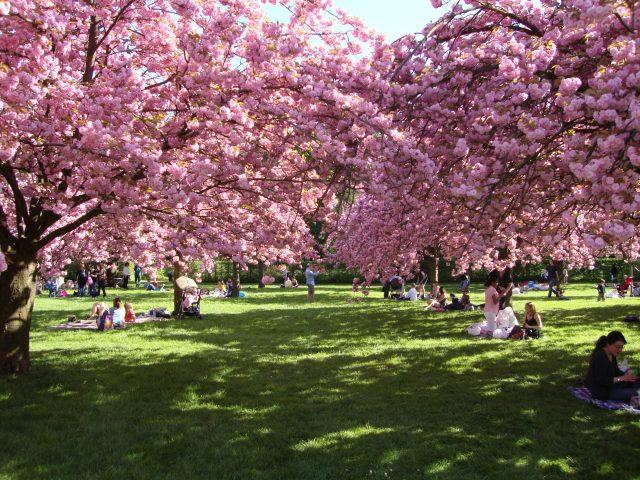 Cerisiers en fleurs au parc de Sceaux / © Claudia Ratsiman