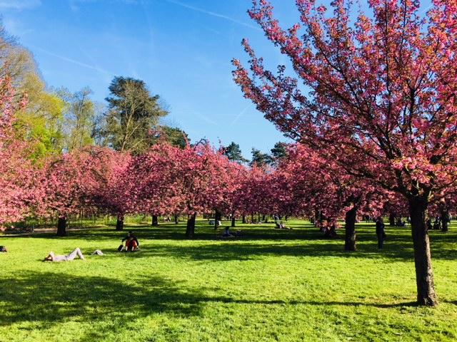 Les cerisiers en fleur du parc de Sceaux dans le bosquet Nord / © Steve Stillman pour Enlarge your Paris