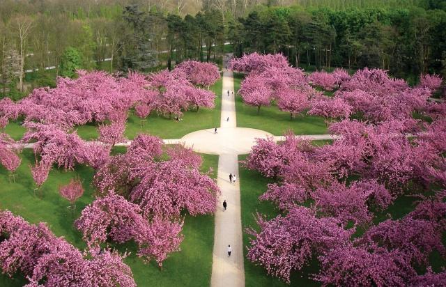 Cerisiers en fleurs au parc de Sceaux / © Ville d'Antony