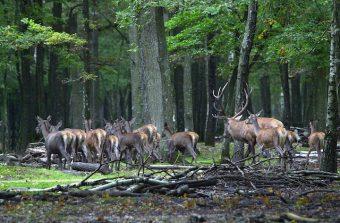 Danse avec les cerfs en forêt de Rambouillet
