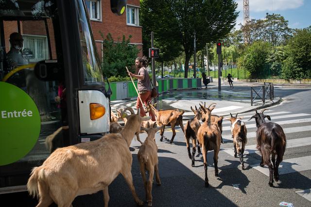 Gilles, berger de l'association Sors de Terre vient à Paris avec son troupeau / © Jérômine Derigny