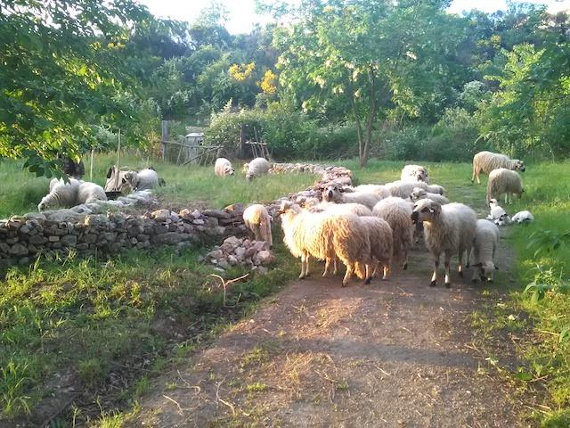 Les moutons de la Ferme du bonheur à Nanterre / © La Ferme du bonheur