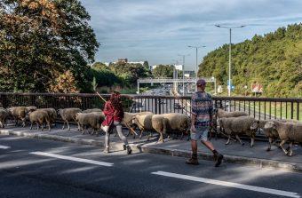 «Marcher avec des moutons permet de redécouvrir la ville»