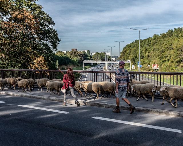 Transhumance des Bergers Urbains entre Villetaneuse et La Courneuve en passant par Paris le 16 septembre 2018 / © Jean-Fabien Leclanche pour Enlarge Your Paris