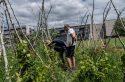 Des paysans urbains bichonnent une vigne-potager à Villetaneuse