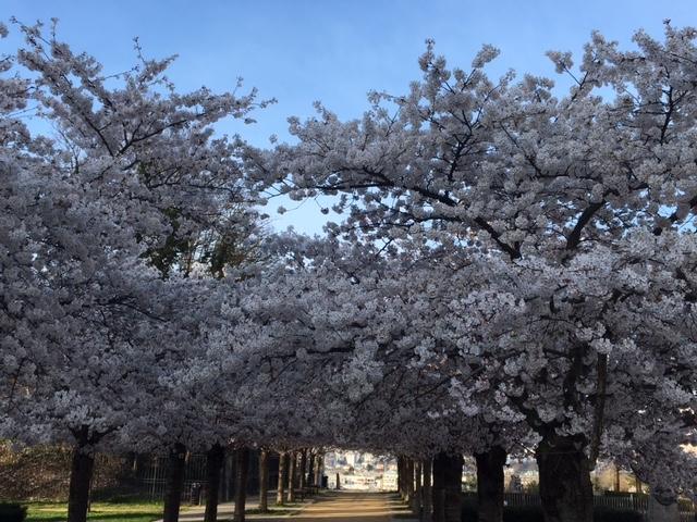 Les cerisiers de la place de la laïcité à Romainville / © Anne Berthelot