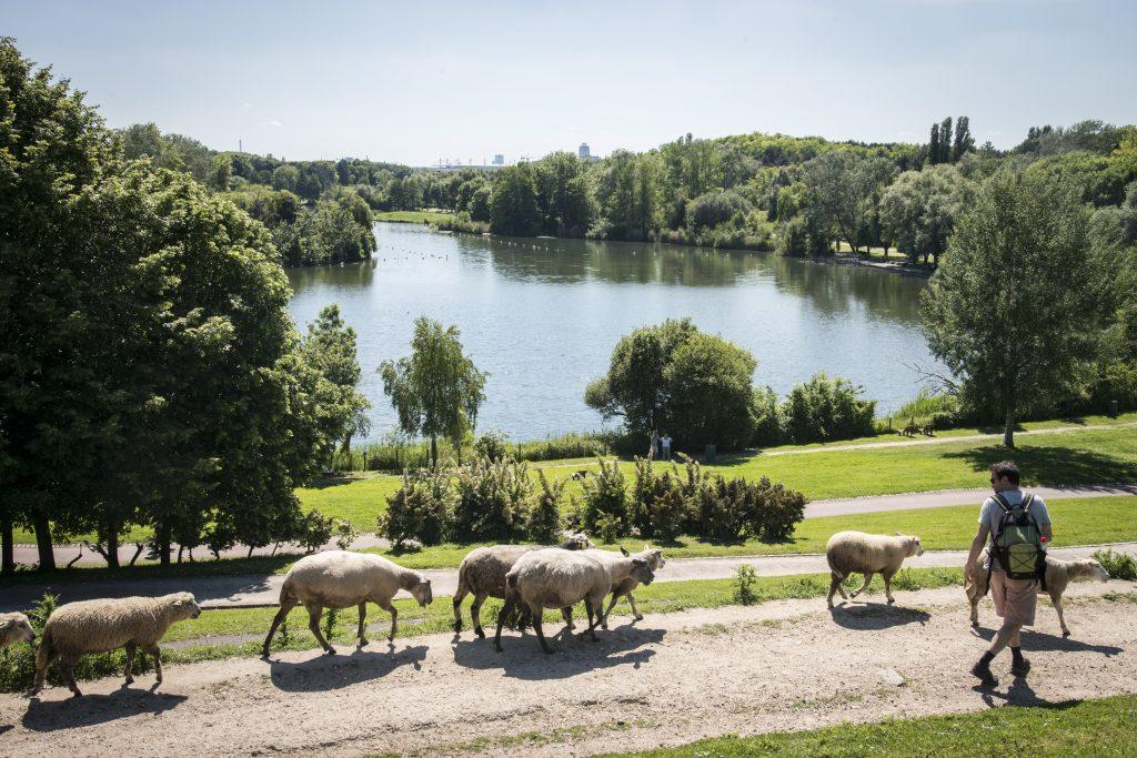 Transhumance dans le parc Georges-Valbon à La Courneuve avec le troupeau des Bergers Urbains /  © Jéromine Derigny pour Enlarge your Paris