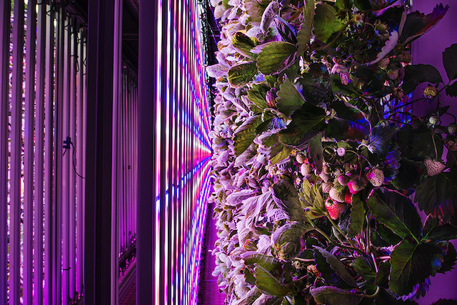 Un container aménagé par Agricool dans le 13e arrondissement. Des fraises y poussent toute l'année sans pesticides grâce à une atmosphère contrôlée et des lumières LED. Un container de 30 m2 peut produire jusqu'à 7 tonnes de fraises par an, l'équivalent de la production de 4000 m2 en pleine terre. Paris XIIIe, août 2018.