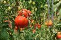 Cueillez vos tomates en plein champ dans les fermes «Chapeau de paille»