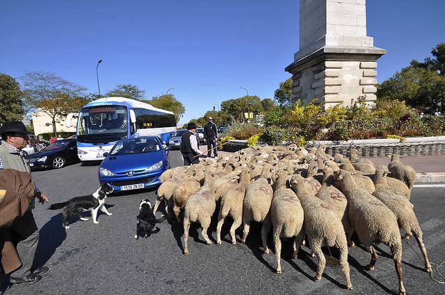 Des moutons dans les rues de Marseille en 2010 / ©  Marcovdz (Creative commons - Flickr)