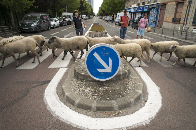 Les moutons traverseront dans les clous tout au long de la Transhumance / © Jérômine Derigny
