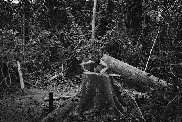 Un garde forestier constate l'abattage d'un arbre par des exploitants forestiers illégaux dans la réserve d'Arariboia / © Tommaso Protti pour la Fondation Carmignac