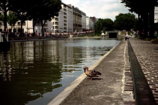 Canard sur les bords du canal à Paris / © Nicolas Vigier (Creative commons - Flickr)