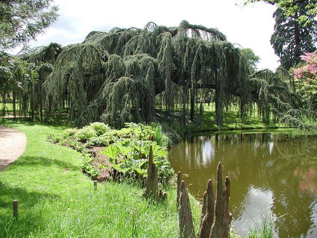 Le cèdre pleureur de l'Atlas de l'arboretum de la Vallée aux loups / © Jean-Luc Bailleul (Wikimedia commons)