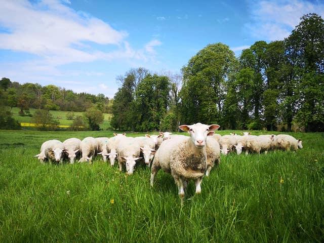 A l'occasion des Journées nationales de l'agriculture, la ferme de Grignon dans les Yvelines organise la Fête du mouton / © Ferme de Grignon