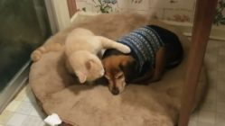 Cat comforts blind dog