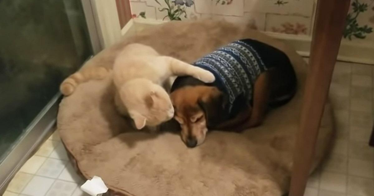 Cat comforts blind dog