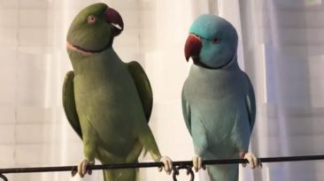 Chatting-Parrots