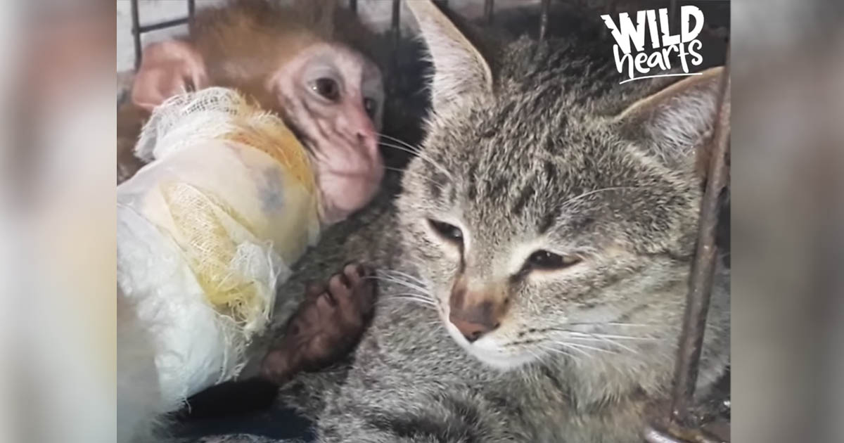 Cat Becomes Mother To Monkey