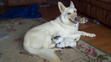 dog-cuddles-goat