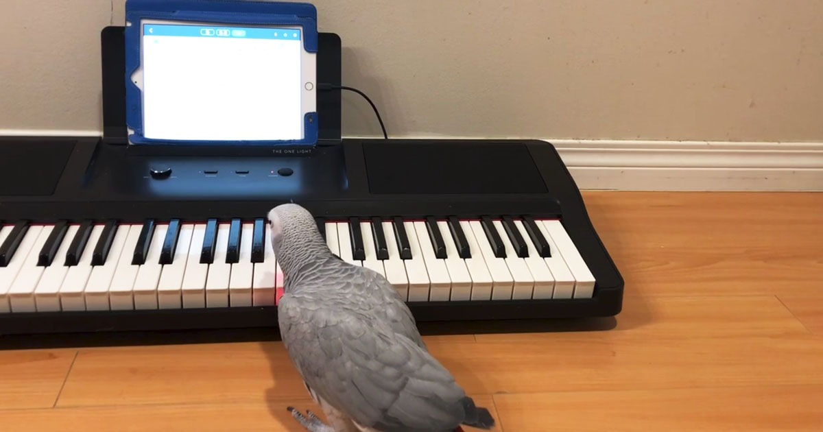 parrot-plays-Beethoven
