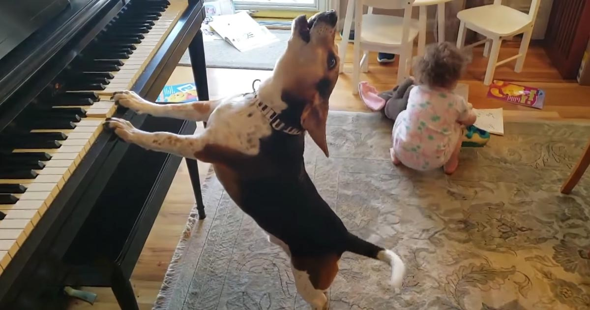 Dog Singing And Playing The Piano Will Make You Smile Big | FaithPot