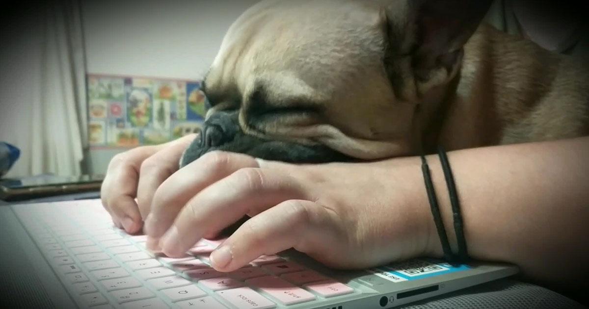 sleeping-bulldog