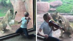 Violinist-Serenades-Lion