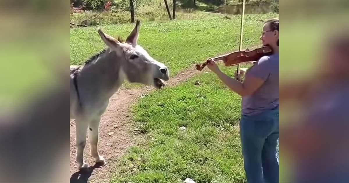 donkey-violin