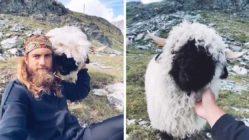 sheep-befriends-traveller