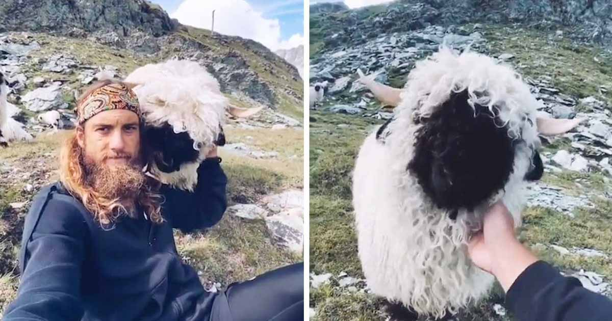 sheep-befriends-traveller