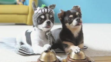 Chihuahua-ring-bells
