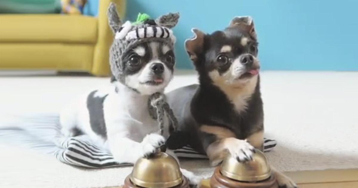 Chihuahua-ring-bells
