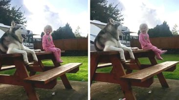 husky-toddler-play
