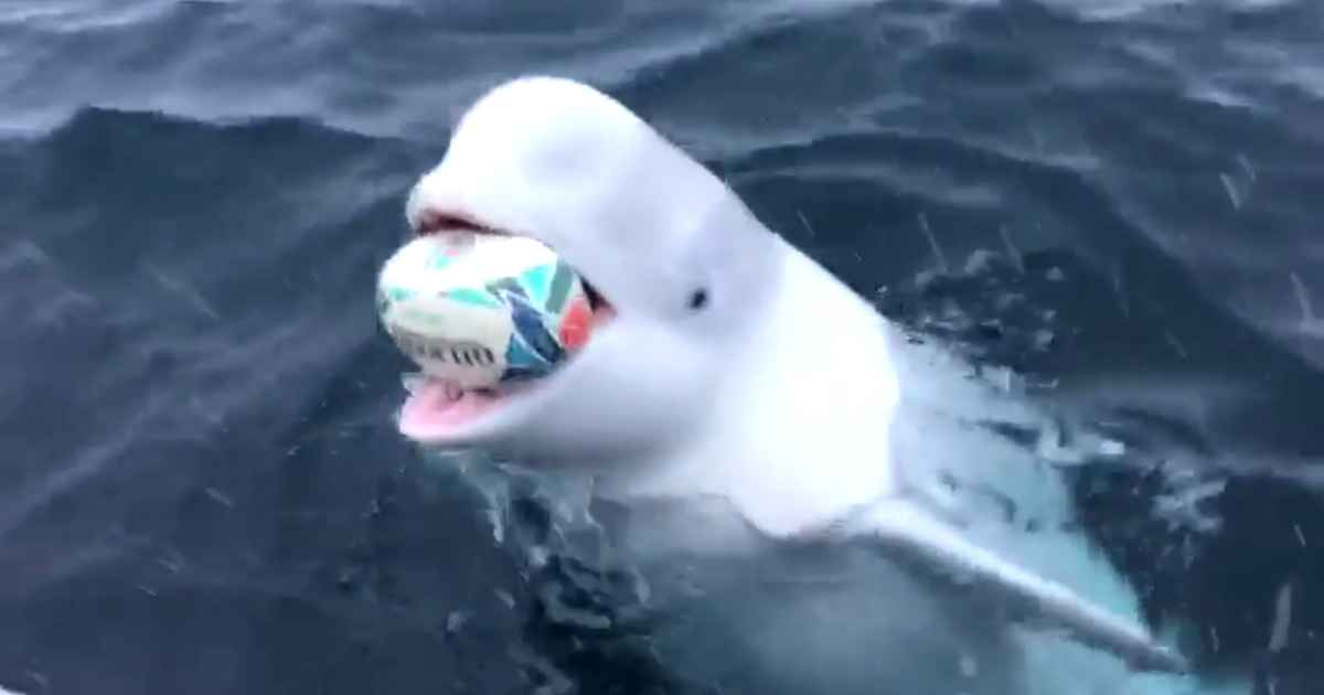 whale-plays-fetch